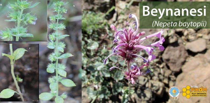 150 Yıldır Kayıp Olan Bitki Bingöl'de Bulundu