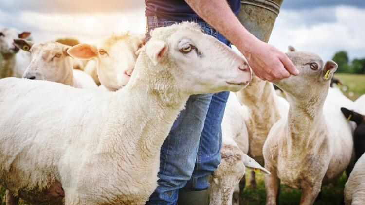 Anaç Koyun-Keçi Destekleme Ödemeleri Başladı