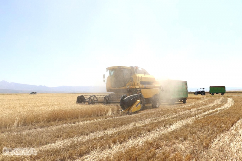 Kavurucu Yaz Sıcağında Buğday Hasadı