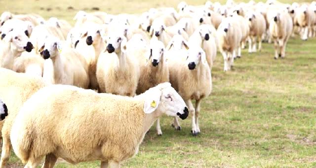 Koyun-Keçi Destekleri Başlıyor 