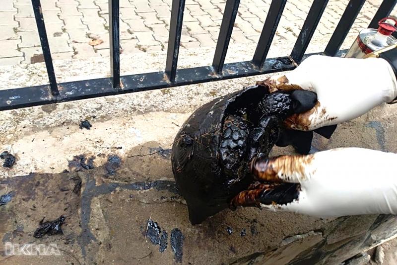 Zifte Bulanmış Kaplumbağa Korunmaya Alındı
